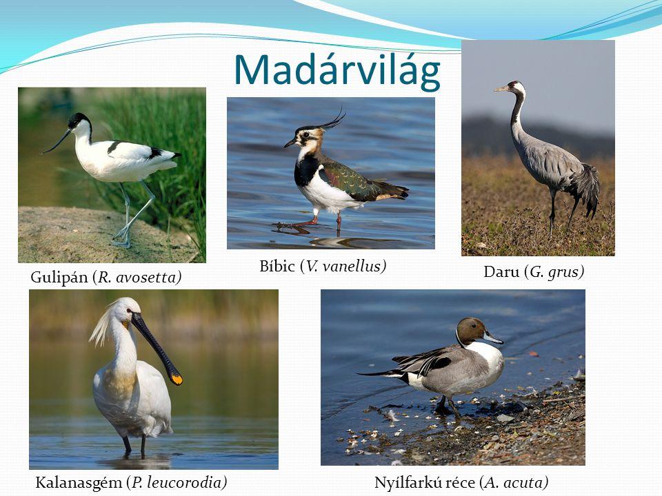 Madárvilág Gulipán (R. avosetta) Kalanasgém (P. leucorodia) Bíbic (V.