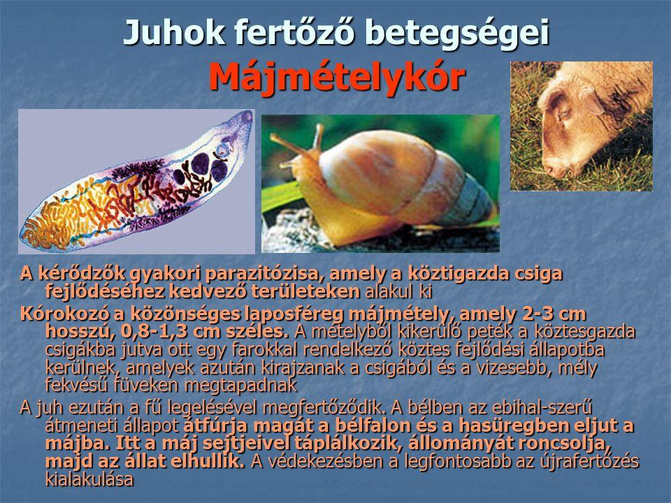 Juhok fertőző betegségei Májmételykór A kérődzők gyakori parazitózisa, amely a köztigazda csiga fejlődéséhez kedvező területeken alakul ki Kórokozó a közönséges laposféreg májmétely, amely 2-3 cm hosszú, 0,8-1,3 cm széles.
