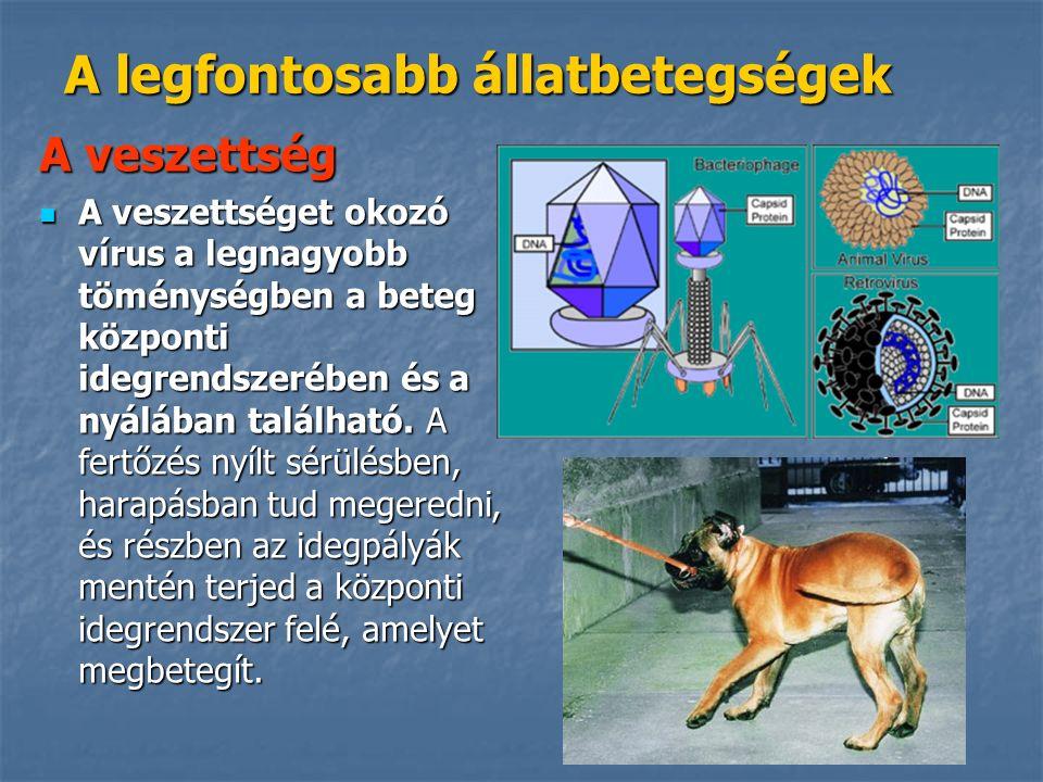 A legfontosabb állatbetegségek A veszettség A veszettséget okozó vírus a legnagyobb töménységben a beteg központi idegrendszerében és a nyálában található.