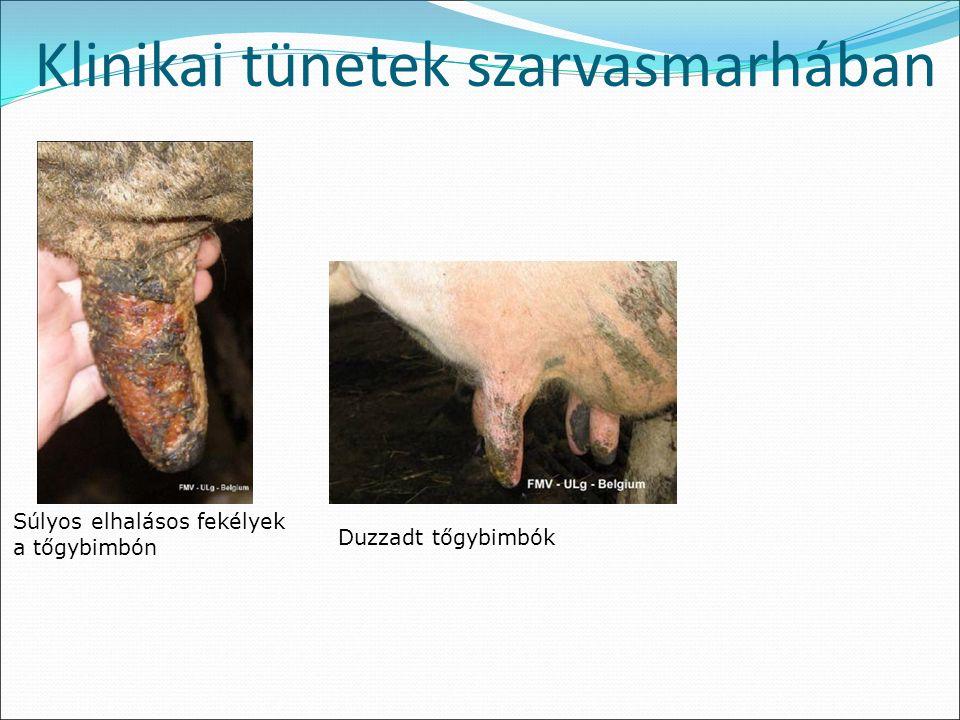 Klinikai tünetek szarvasmarhában Súlyos elhalásos fekélyek a tőgybimbón Duzzadt tőgybimbók