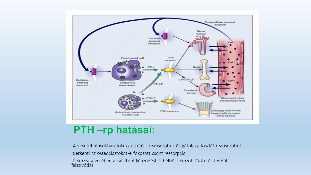PTH –rp hatásai: -A vesetubulusokban fokozza a Ca2+ reabsorptiot és gátolja a foszfát reabsorptiot -Serkenti az osteoclastokat→ fokozott csont reszorpcio -Fokozza a vesében a calcitriol képződést→ bélből fokozott Ca2+ és foszfát felszívódás