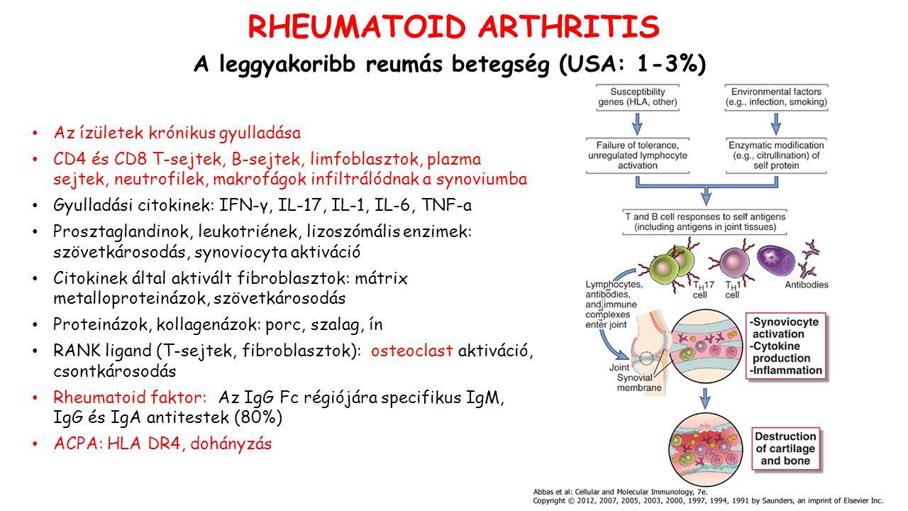 RHEUMATOID ARTHRITIS A leggyakoribb reumás betegség (USA: 1-3%) Az ízületek krónikus gyulladása CD4 és CD8 T-sejtek, B-sejtek, limfoblasztok, plazma sejtek, neutrofilek, makrofágok infiltrálódnak a synoviumba Gyulladási citokinek: IFN-γ, IL-17, IL-1, IL-6, TNF-a Prosztaglandinok, leukotriének, lizoszómális enzimek: szövetkárosodás, synoviocyta aktiváció Citokinek által aktivált fibroblasztok: mátrix metalloproteinázok, szövetkárosodás Proteinázok, kollagenázok: porc, szalag, ín RANK ligand (T-sejtek, fibroblasztok): osteoclast aktiváció, csontkárosodás Rheumatoid faktor: Az IgG Fc régiójára specifikus IgM, IgG és IgA antitestek (80%) ACPA: HLA DR4, dohányzás