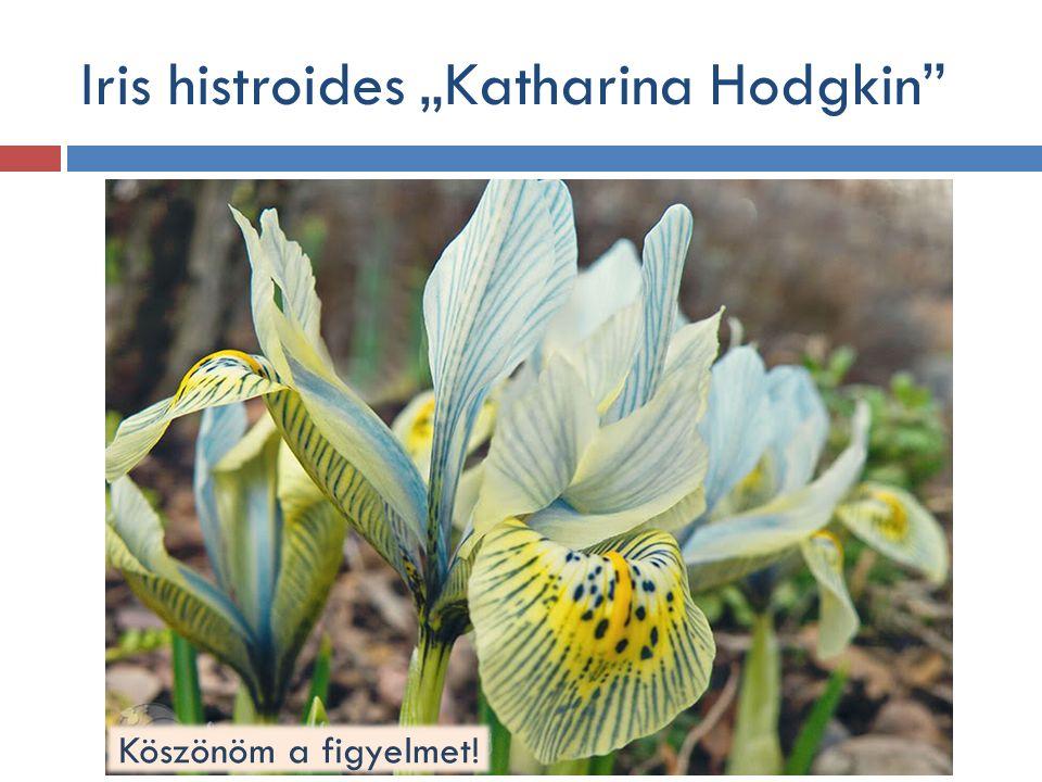 """Iris histroides """"Katharina Hodgkin Köszönöm a figyelmet!"""