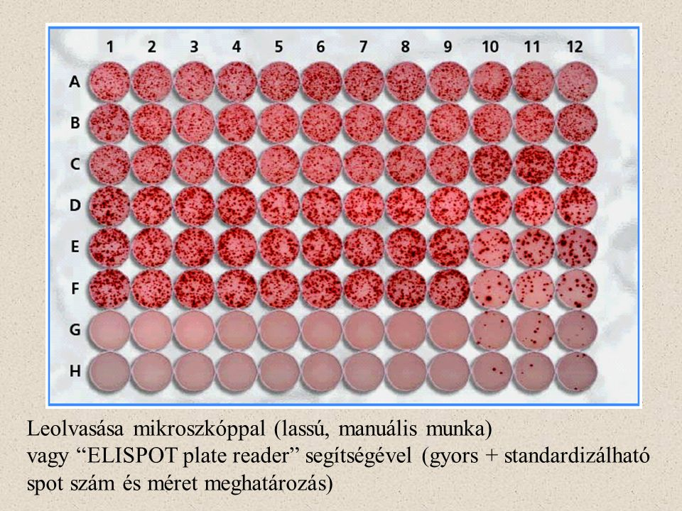 Leolvasása mikroszkóppal (lassú, manuális munka) vagy ELISPOT plate reader segítségével (gyors + standardizálható spot szám és méret meghatározás)