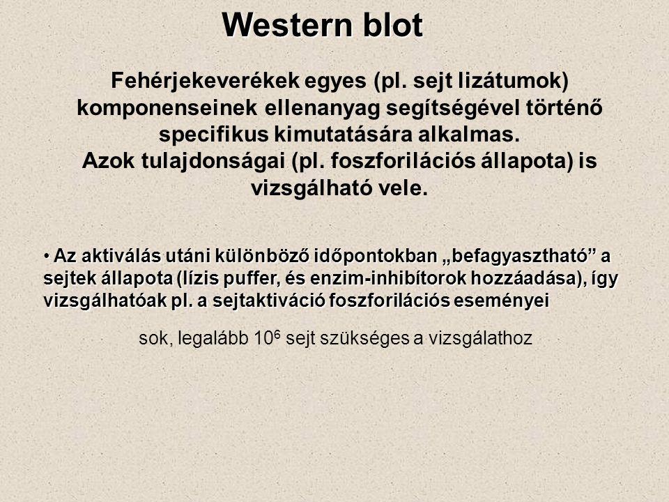 Western blot Fehérjekeverékek egyes (pl.