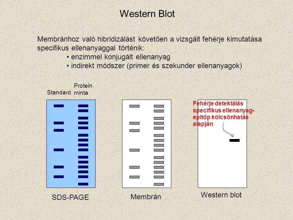 Membránhoz való hibridizálást követően a vizsgált fehérje kimutatása specifikus ellenanyaggal történik: enzimmel konjugált ellenanyag indirekt módszer (primer és szekunder ellenanyagok) Standard Protein minta SDS-PAGE Membrán Western blot Fehérje detektálás specifikus ellenanyag- epitóp kölcsönhatás alapján Western Blot