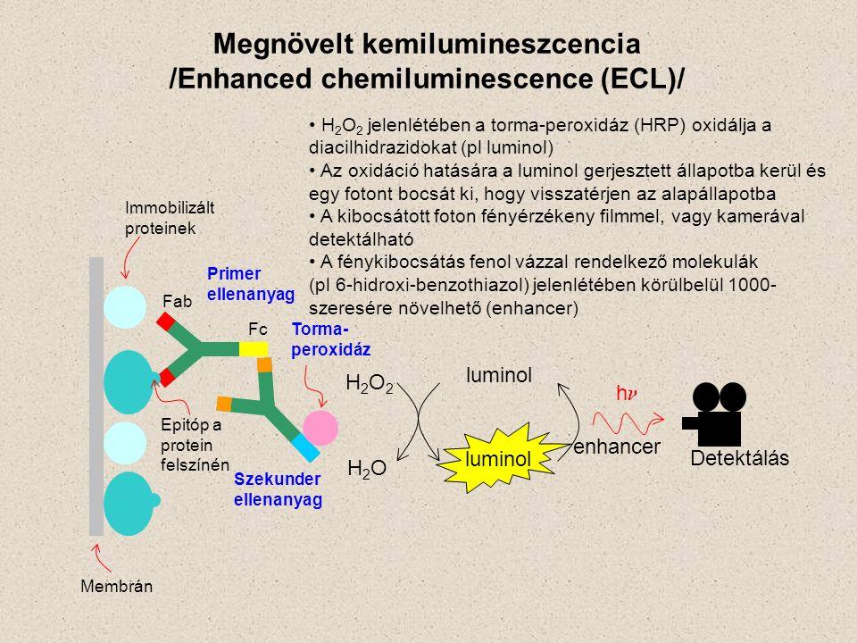 Fab Fc Epitóp a protein felszínén Primer ellenanyag Szekunder ellenanyag Torma- peroxidáz Immobilizált proteinek Membrán H2O2H2O2 H2OH2O luminol enhancer h Detektálás Megnövelt kemilumineszcencia /Enhanced chemiluminescence (ECL)/ H 2 O 2 jelenlétében a torma-peroxidáz (HRP) oxidálja a diacilhidrazidokat (pl luminol) Az oxidáció hatására a luminol gerjesztett állapotba kerül és egy fotont bocsát ki, hogy visszatérjen az alapállapotba A kibocsátott foton fényérzékeny filmmel, vagy kamerával detektálható A fénykibocsátás fenol vázzal rendelkező molekulák (pl 6-hidroxi-benzothiazol) jelenlétében körülbelül 1000- szeresére növelhető (enhancer) luminol