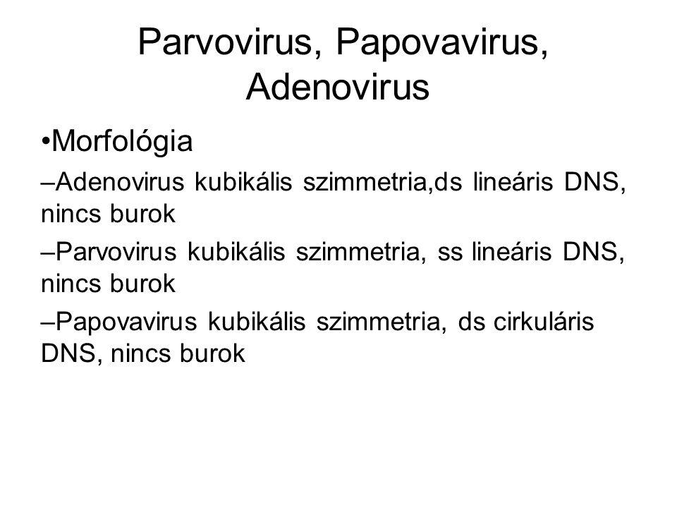 Parvovirus, Papovavirus, Adenovirus Morfológia – Adenovirus kubikális szimmetria,ds lineáris DNS, nincs burok – Parvovirus kubikális szimmetria, ss lineáris DNS, nincs burok – Papovavirus kubikális szimmetria, ds cirkuláris DNS, nincs burok