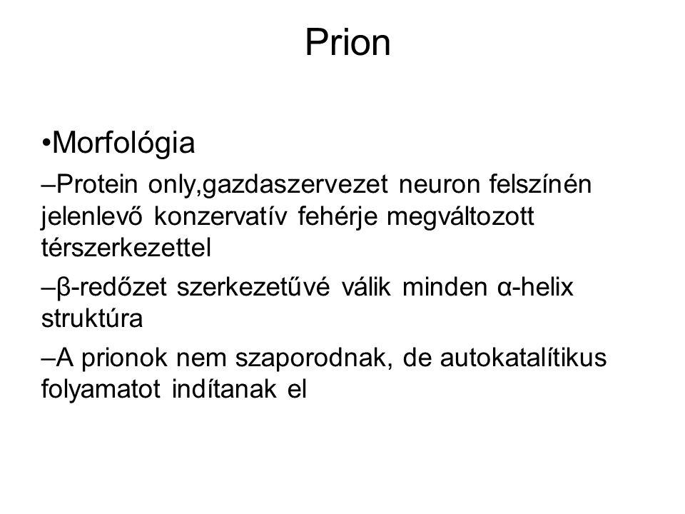 Prion Morfológia – Protein only,gazdaszervezet neuron felszínén jelenlevő konzervatív fehérje megváltozott térszerkezettel – β-redőzet szerkezetűvé válik minden α-helix struktúra – A prionok nem szaporodnak, de autokatalítikus folyamatot indítanak el