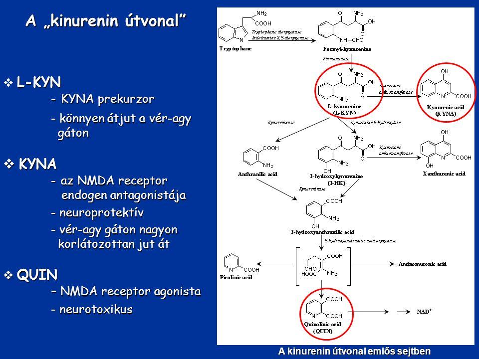 """A kinurenin útvonal emlős sejtben A """"kinurenin útvonal"""" L-KYN  L-KYN - KYNA prekurzor - könnyen átjut a vér-agy gáton  KYNA - az NMDA receptor endog"""