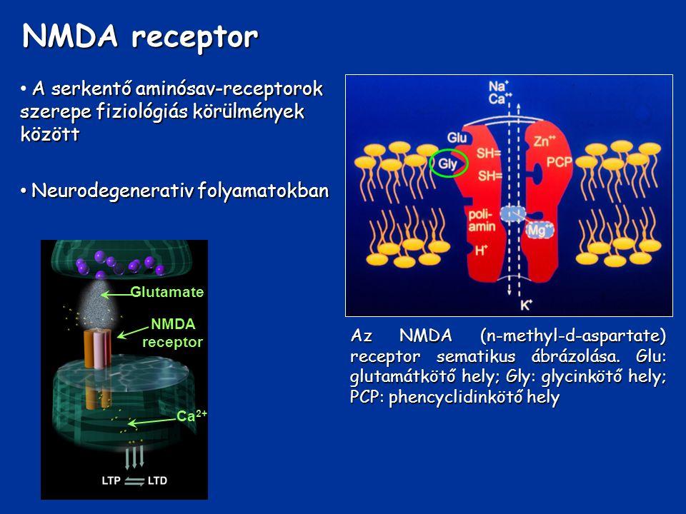 A serkentő aminósav-receptorok szerepe fiziológiás körülmények között Neurodegenerativ folyamatokban Neurodegenerativ folyamatokban Az NMDA (n-methyl-