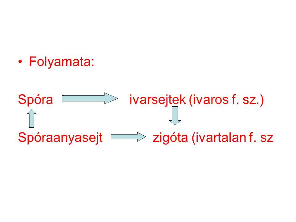 Folyamata: Spóra ivarsejtek (ivaros f. sz.) Spóraanyasejt zigóta (ivartalan f. sz