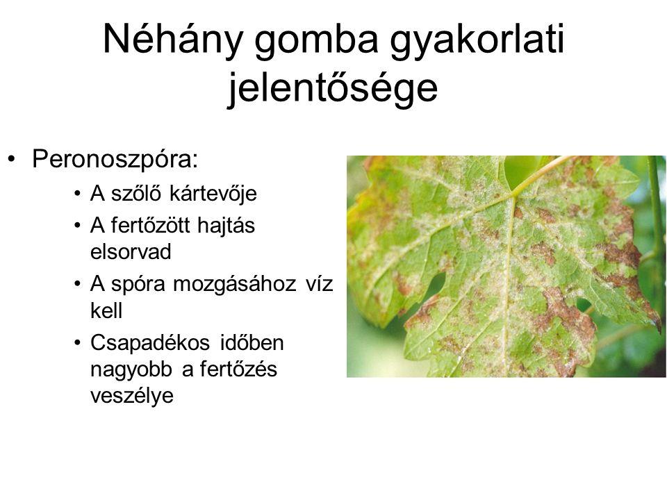 Néhány gomba gyakorlati jelentősége Peronoszpóra: A szőlő kártevője A fertőzött hajtás elsorvad A spóra mozgásához víz kell Csapadékos időben nagyobb a fertőzés veszélye
