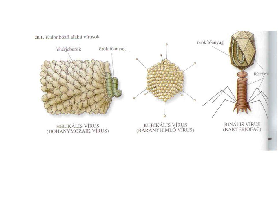 Két megjelenési forma: Vegetatív vírus: gazdasejtbe került vírus vagy vírus örökítőanyag (a baktérium vírusoknál) Virion: inaktív forma, gazdasejten kívüli vírus