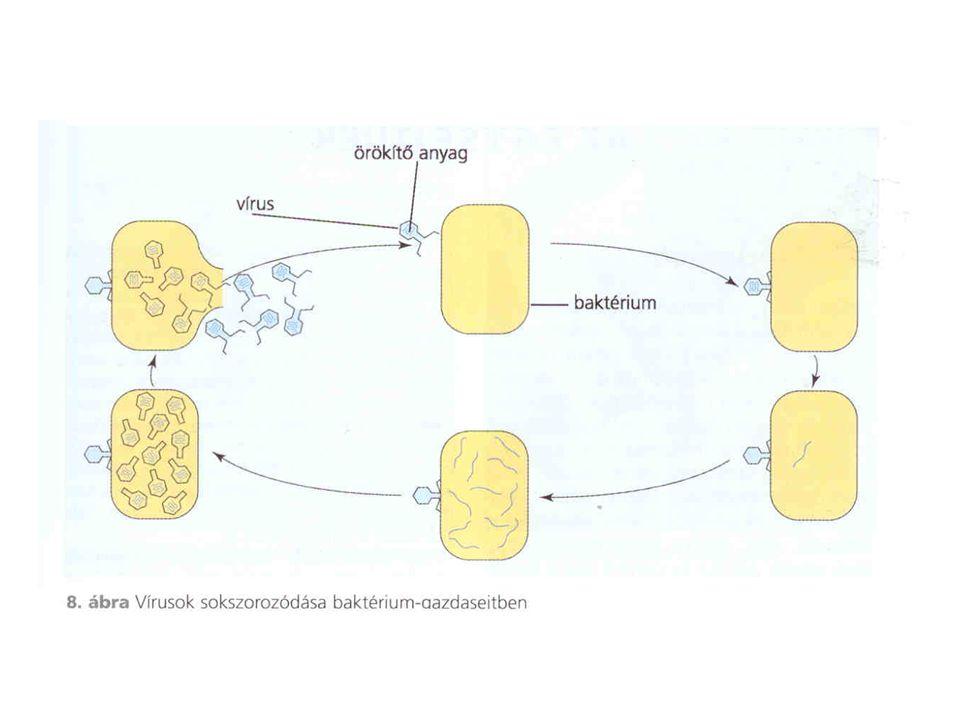 Felépítésük: fehérjék Fajtái: - egészségesen működők és kórokozók (kórokozó fehérjék) - egészségesekből alakulnak ki a kórokozók - a kórokozókat az enzimek nem tudják bontani - sokszorozódásukat a beteg sejt DNS részlete irányítja - betegség: az agyvelő szivacsosan sorvad embernél: Crautzfeld- Jacob kór szarvasmarhánál: kergemarhakór