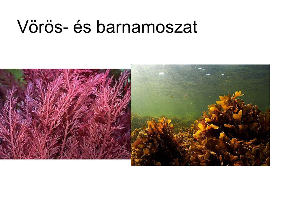 Vörös- és barnamoszat