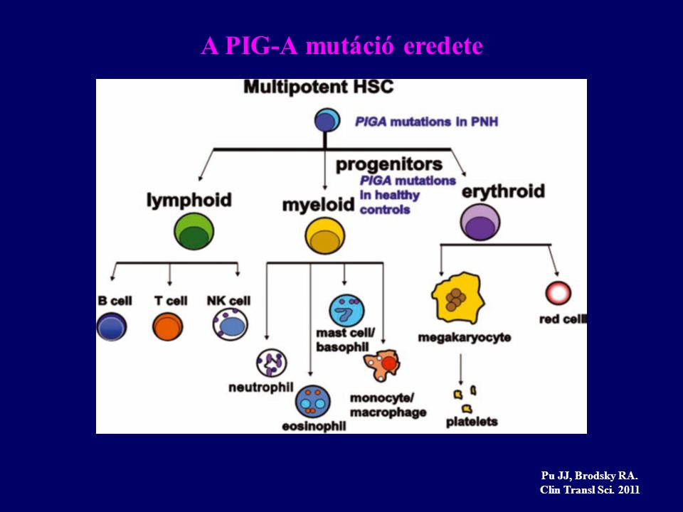 A PIG-A mutáció eredete Pu JJ, Brodsky RA. Clin Transl Sci. 2011