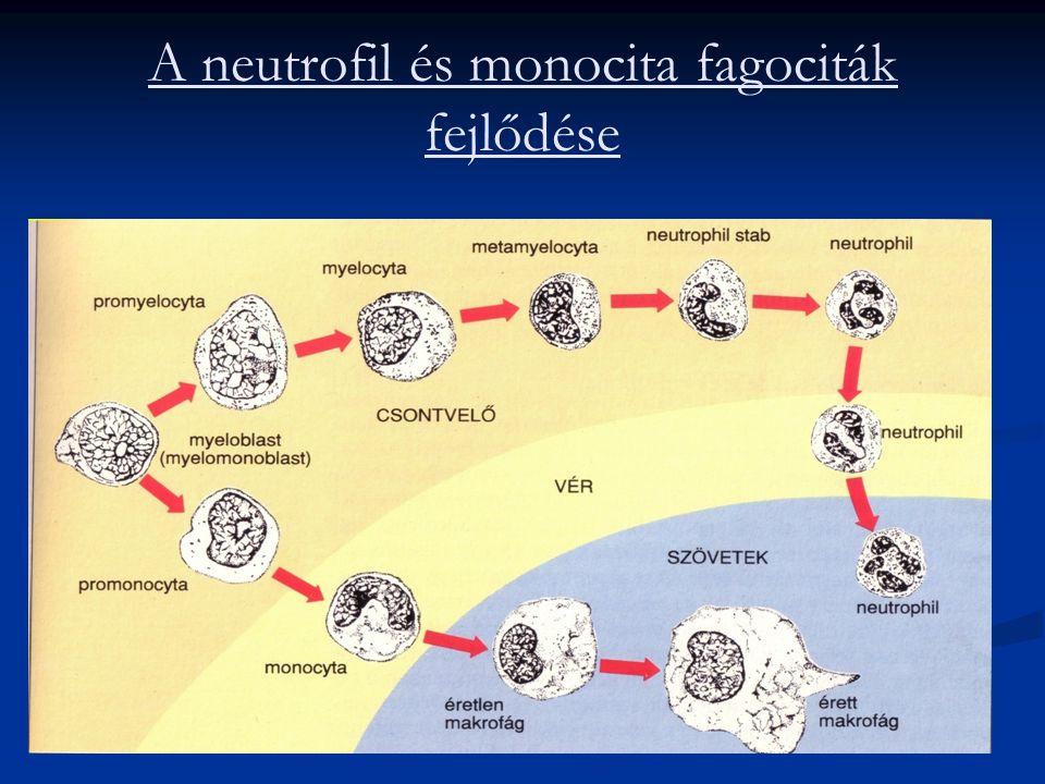 A neutrofil és monocita fagociták fejlődése
