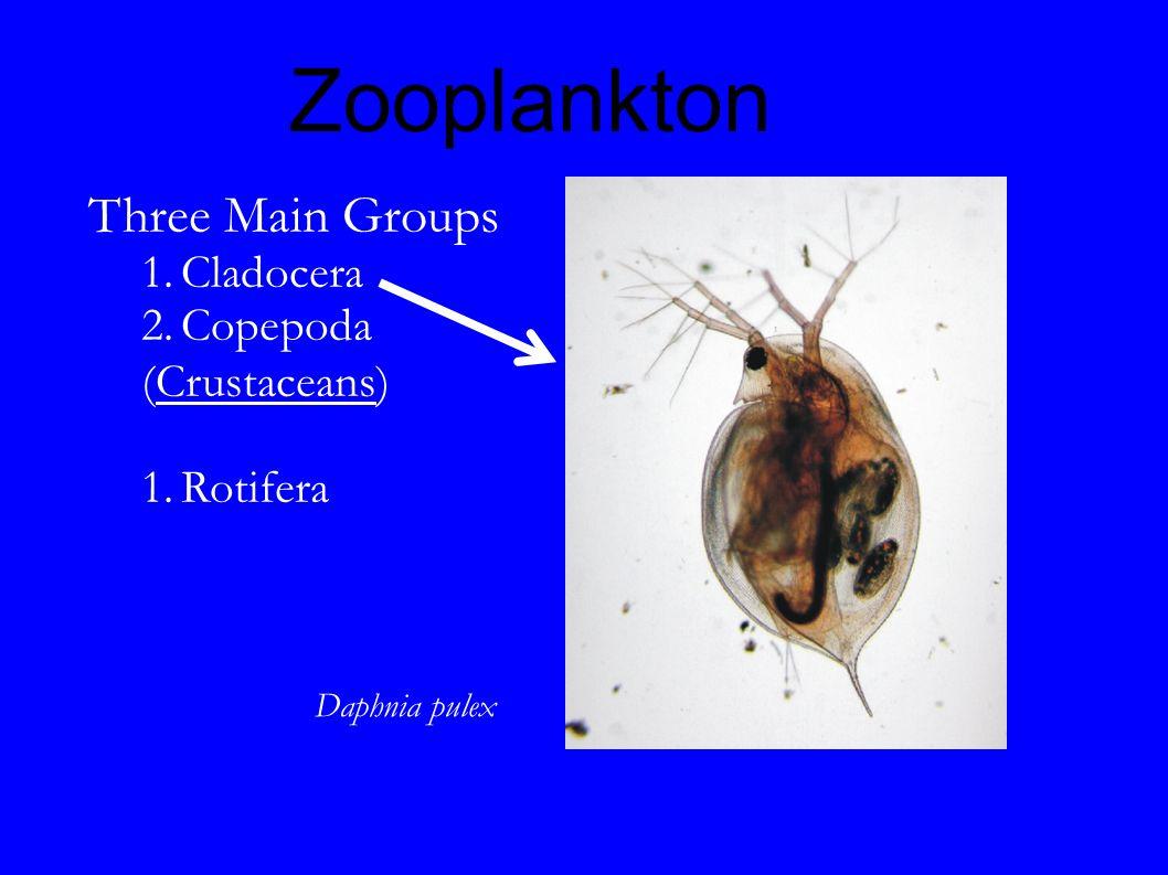 Zooplankton Three Main Groups 1.Cladocera 2.Copepoda (Crustaceans)  1.Rotifera Daphnia pulex