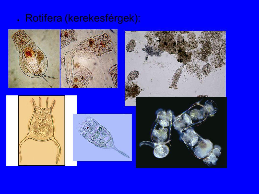 Cladocera ● Arthropoda ● Crustacea ● Branchiopoda ● Polifiletikus csoport ● Szűrő szervezetek, de vannak ragadozók is (Polyphemus sp, Leptodora kindtii stb.)