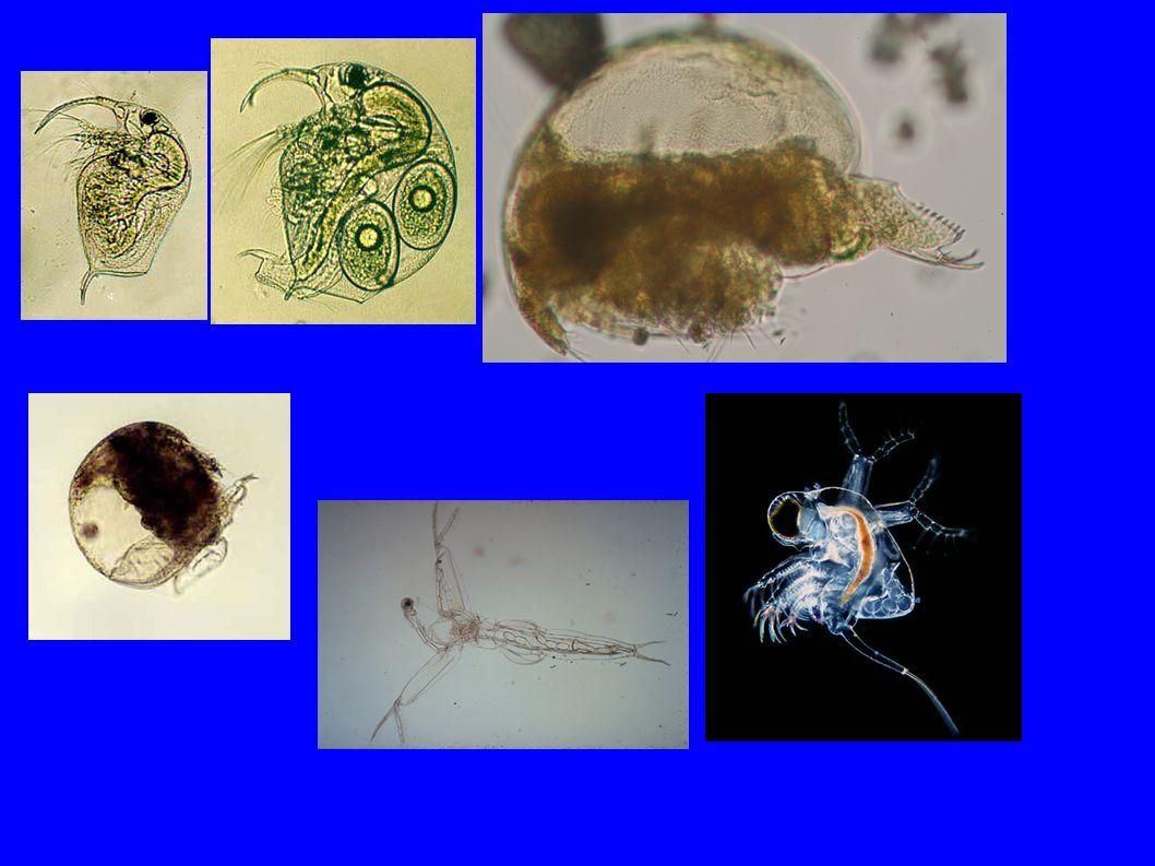 Copepoda (evezőlábú rákok) ● Ivari dimorfizmus ● Szapordás: – Szexuális ● Egyedfejlődés: – Átalakulás (epimorfózis) ● Szűrők, omnivor- de ragadozók