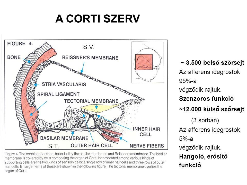 ~ 3.500 belső szőrsejt Az afferens idegrostok 95%-a végződik rajtuk.