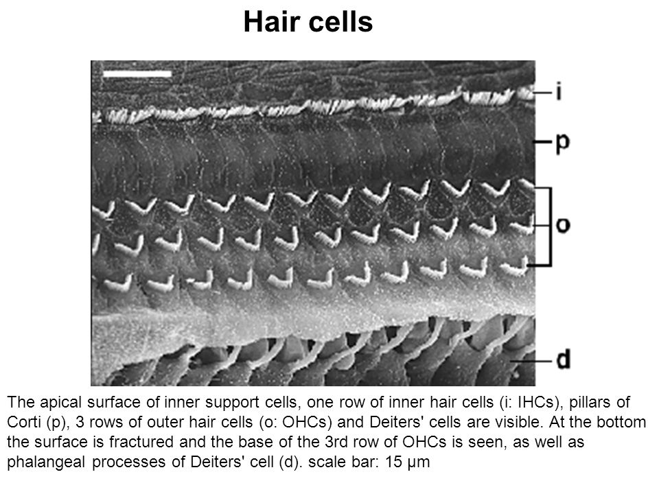 The apical surface of inner support cells, one row of inner hair cells (i: IHCs), pillars of Corti (p), 3 rows of outer hair cells (o: OHCs) and Deite