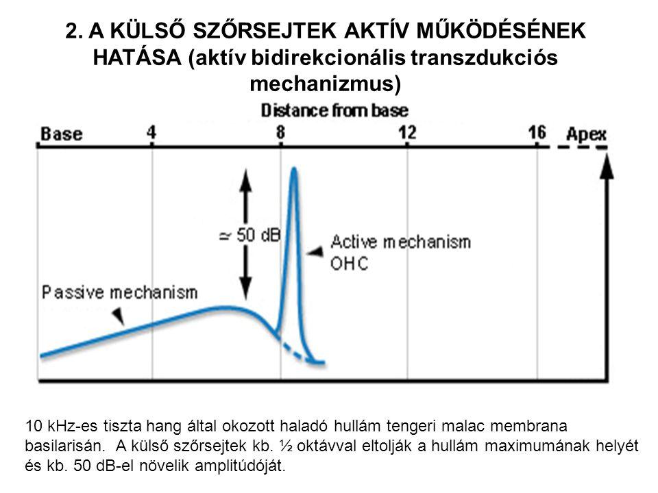 10 kHz-es tiszta hang által okozott haladó hullám tengeri malac membrana basilarisán.