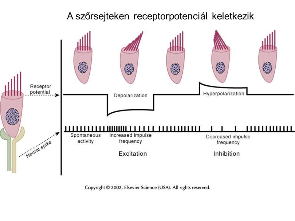 A szőrsejteken receptorpotenciál keletkezik