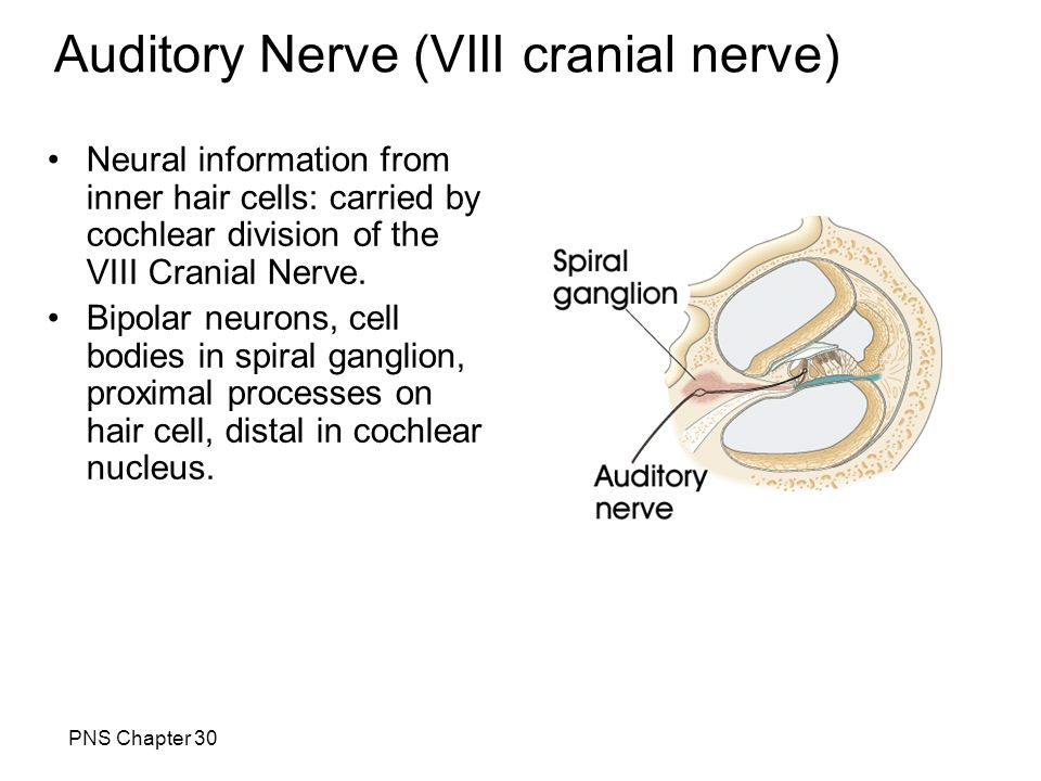 Auditory Nerve (VIII cranial nerve) PNS Chapter 30 Neural information from inner hair cells: carried by cochlear division of the VIII Cranial Nerve. B