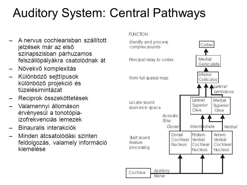Auditory System: Central Pathways –A nervus cochlearisban szállított jelzések már az első szinapszisban párhuzamos felszállópályákra csatolódnak át –Növekvő komplexitás –Különböző sejttípusok különböző projekció és tüzelésimintázat –Reciprok összeköttetések –Valamennyi állomáson érvényesül a tonotópia- izofrekvenciás lemezek –Binauralis interakciók – Minden átcsatolódási szinten feldolgozás, valamely információ kiemelése