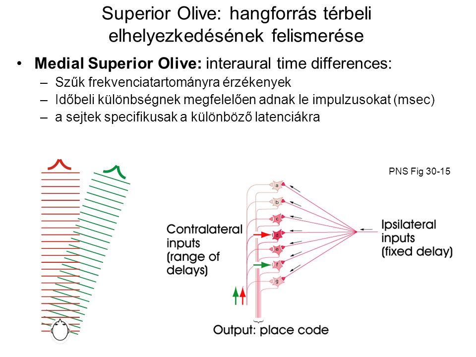 Superior Olive: hangforrás térbeli elhelyezkedésének felismerése Medial Superior Olive: interaural time differences: –Szűk frekvenciatartományra érzékenyek –Időbeli különbségnek megfelelően adnak le impulzusokat (msec) – a sejtek specifikusak a különböző latenciákra PNS Fig 30-15