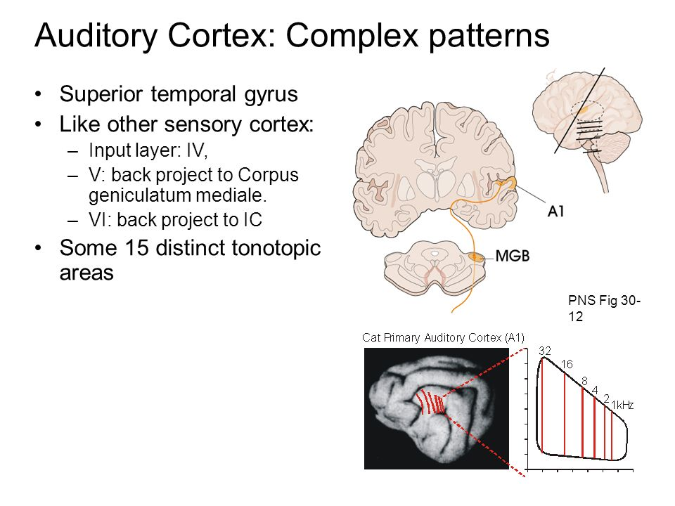 Auditory Cortex: Complex patterns PNS Fig 30- 12 Superior temporal gyrus Like other sensory cortex: –Input layer: IV, –V: back project to Corpus geniculatum mediale.