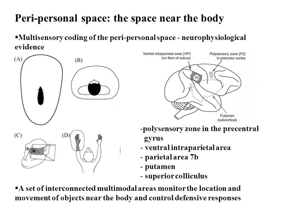  Multisensory coding of the peri-personal space - neurophysiological evidence Peri-personal space: the space near the body -polysensory zone in the p