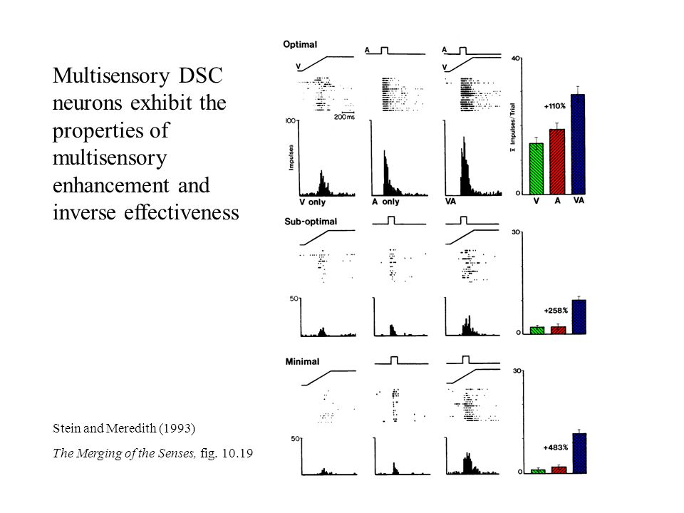 Multisensory DSC neurons exhibit the properties of multisensory enhancement and inverse effectiveness Stein and Meredith (1993) The Merging of the Sen