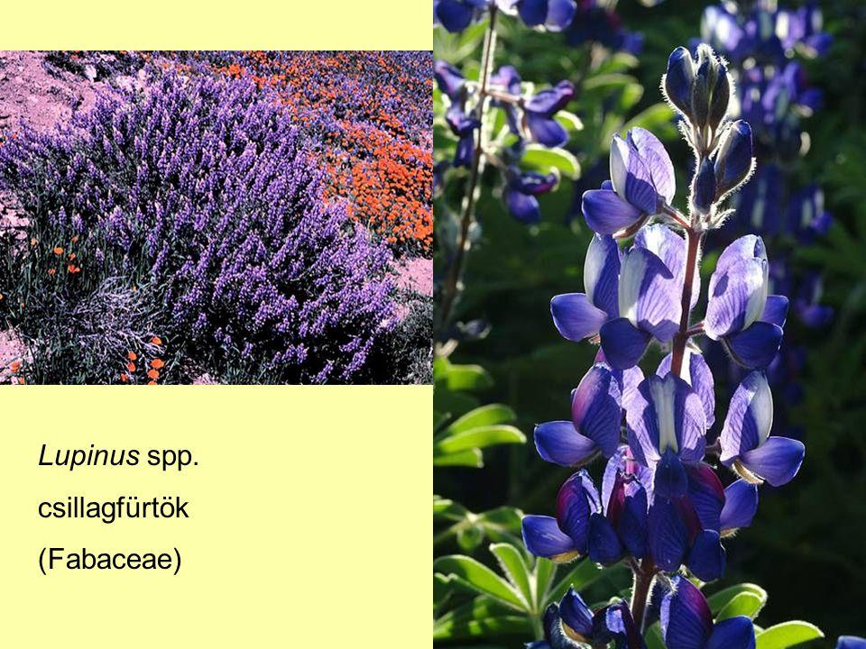 Lupinus spp. csillagfürtök (Fabaceae)