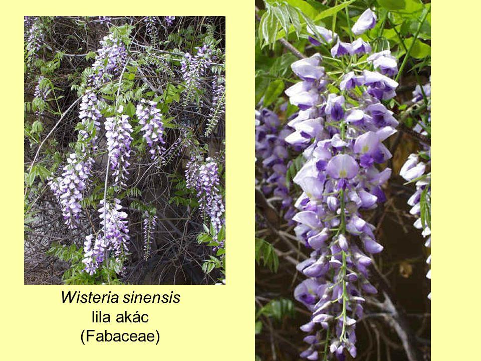 Wisteria sinensis lila akác (Fabaceae)