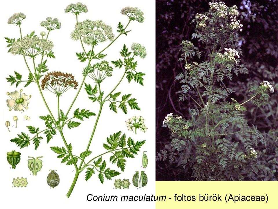 Conium maculatum - foltos bürök (Apiaceae)
