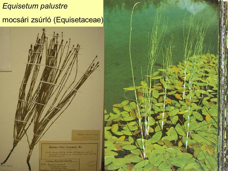 Equisetum palustre mocsári zsúrló (Equisetaceae)