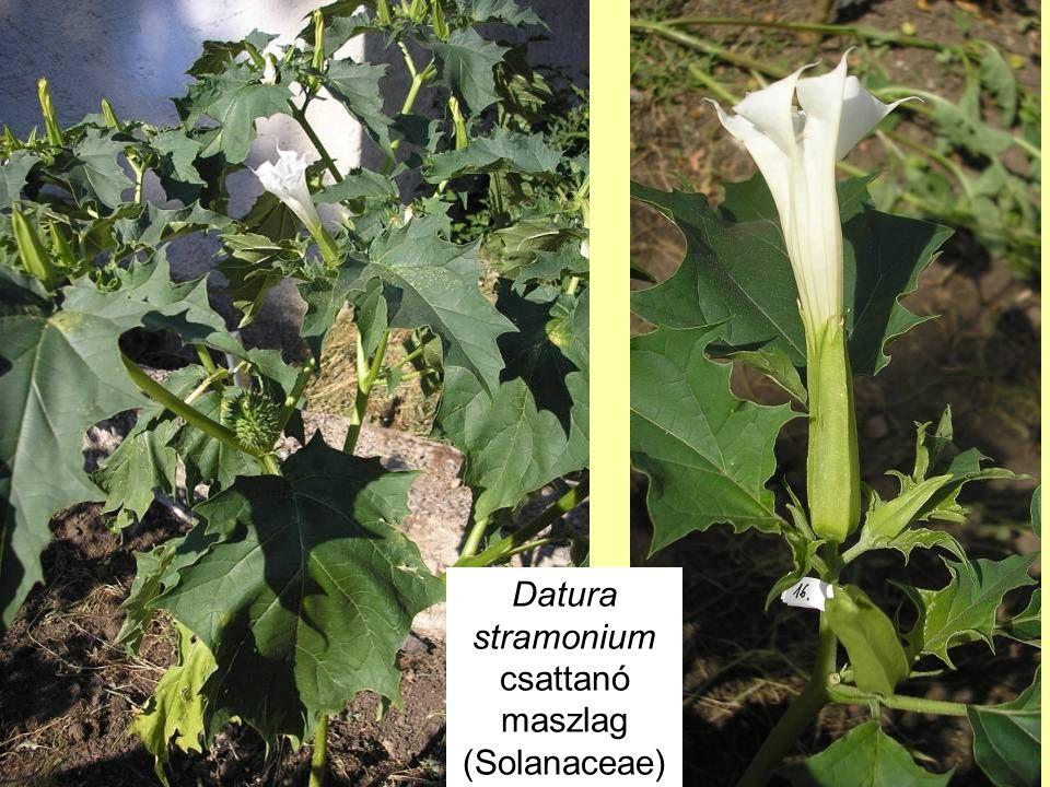 Datura stramonium csattanó maszlag (Solanaceae)