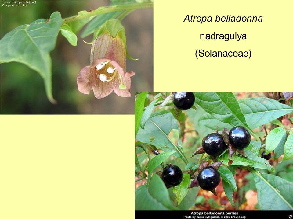 Atropa belladonna nadragulya (Solanaceae)