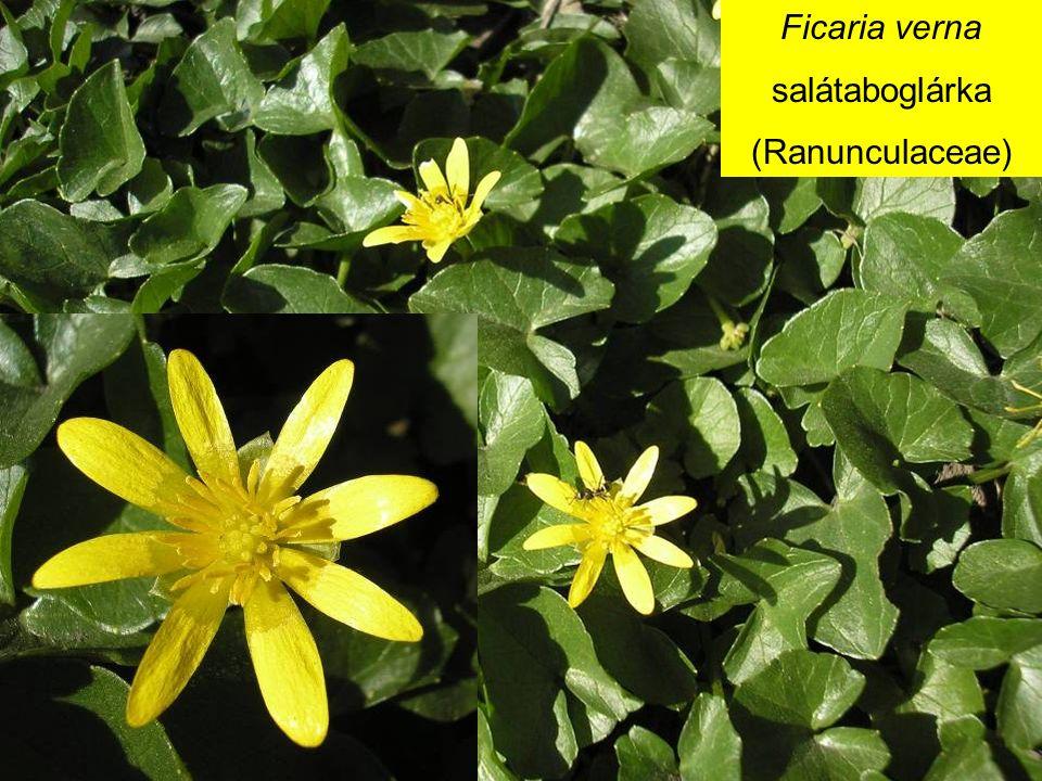 Ficaria verna salátaboglárka (Ranunculaceae)