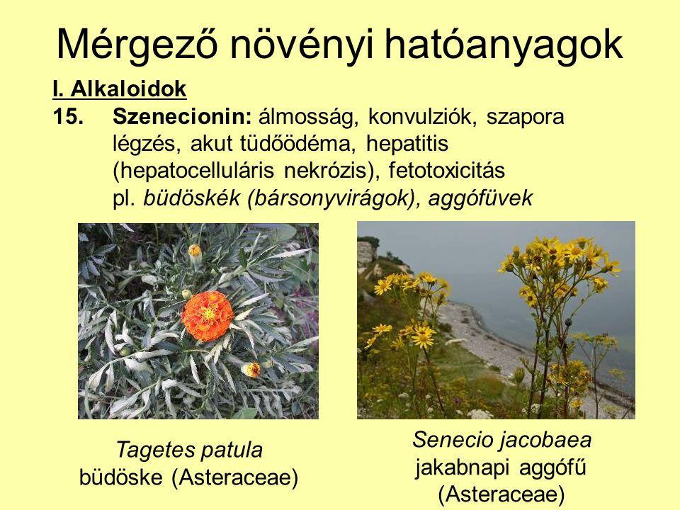 Mérgező növényi hatóanyagok I. Alkaloidok 15.Szenecionin: álmosság, konvulziók, szapora légzés, akut tüdőödéma, hepatitis (hepatocelluláris nekrózis),