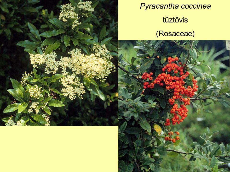 Pyracantha coccinea tűztövis (Rosaceae)