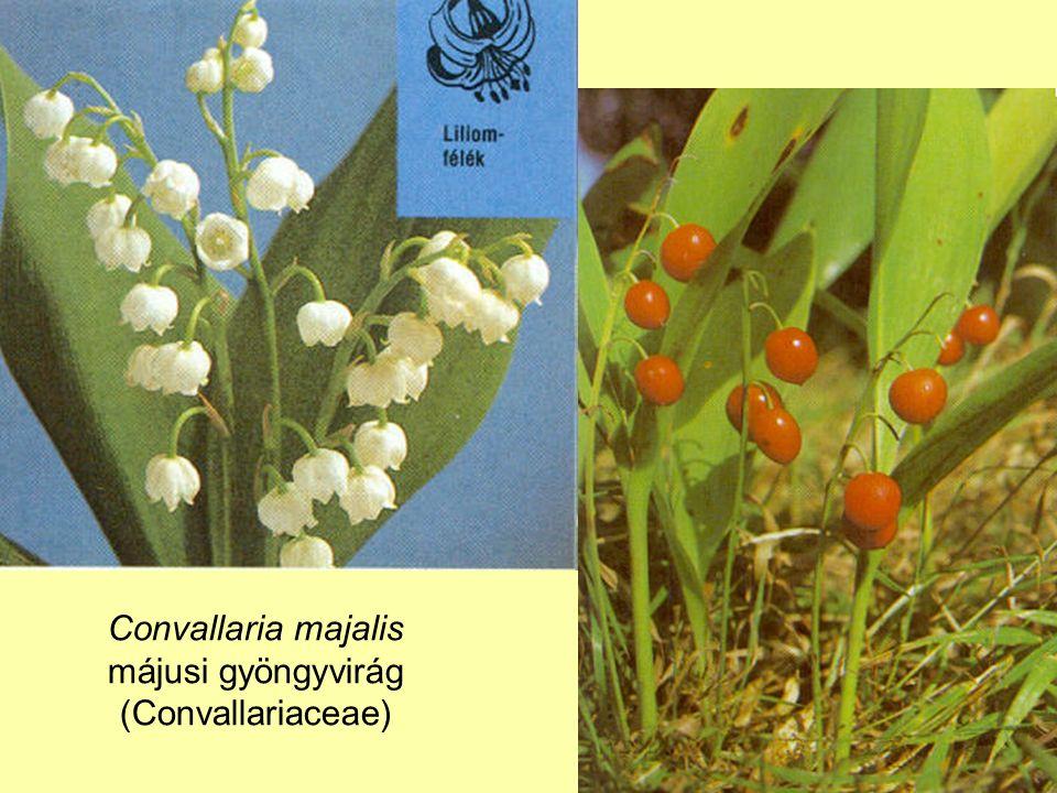 Convallaria majalis májusi gyöngyvirág (Convallariaceae)