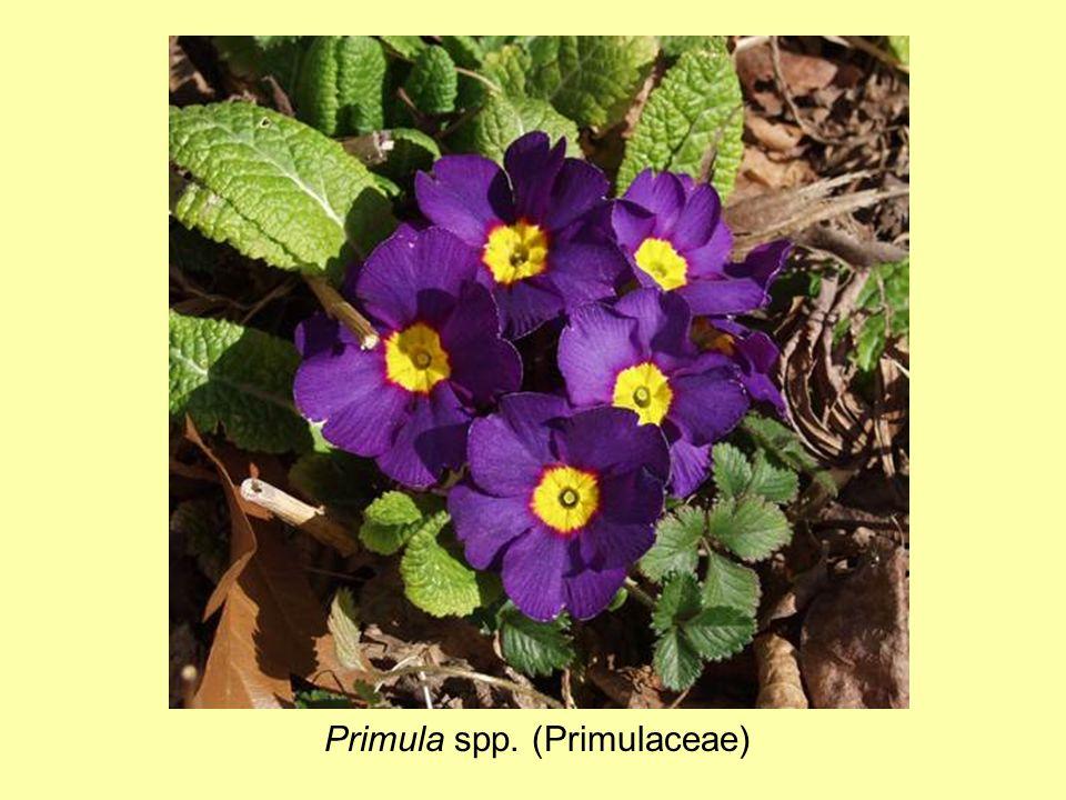Primula spp. (Primulaceae)
