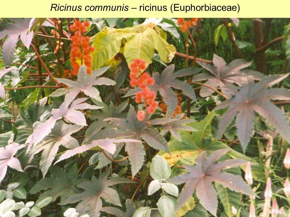 Ricinus communis – ricinus (Euphorbiaceae)