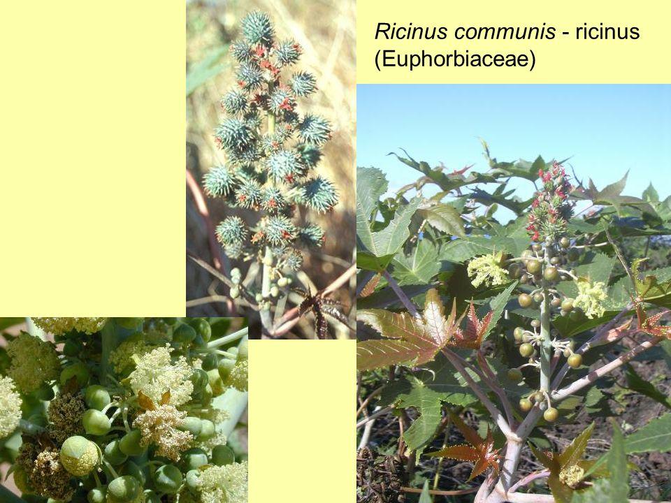 Ricinus communis - ricinus (Euphorbiaceae)