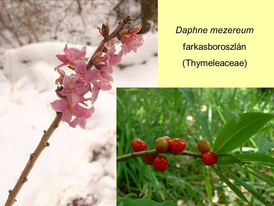Daphne mezereum farkasboroszlán (Thymeleaceae)