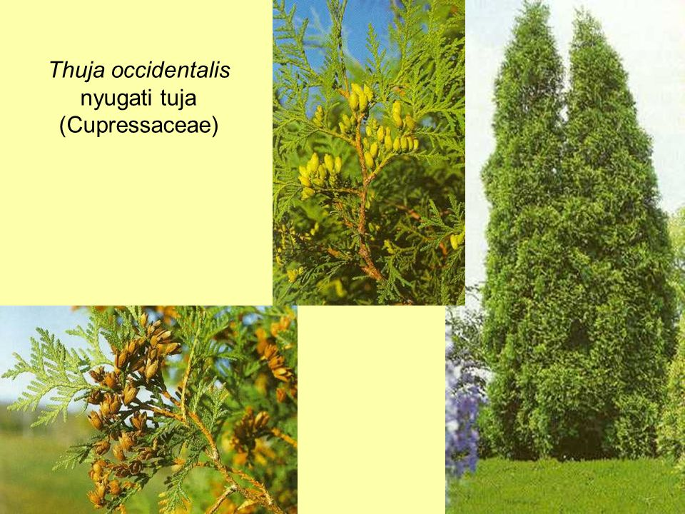 Thuja occidentalis nyugati tuja (Cupressaceae)